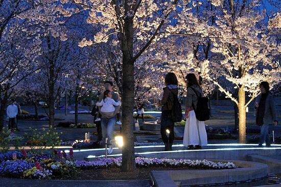 夜桜オンライン♪�