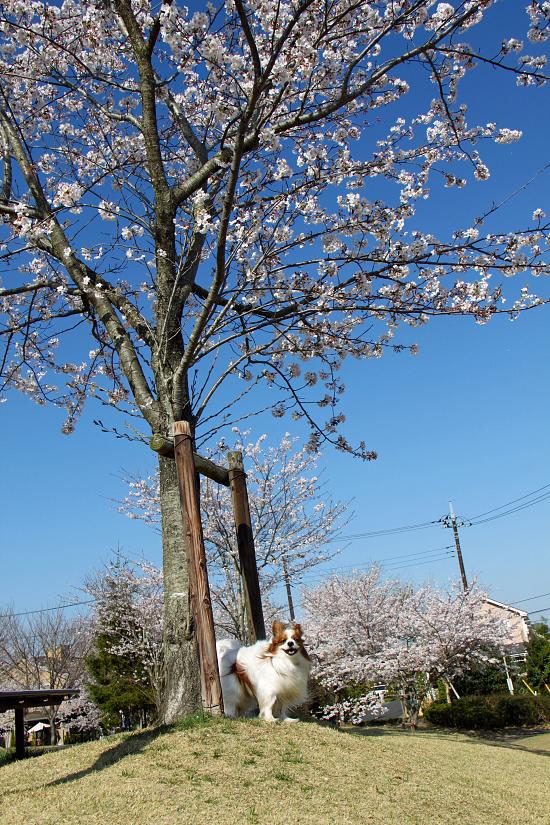 最後の桜・・・ 01