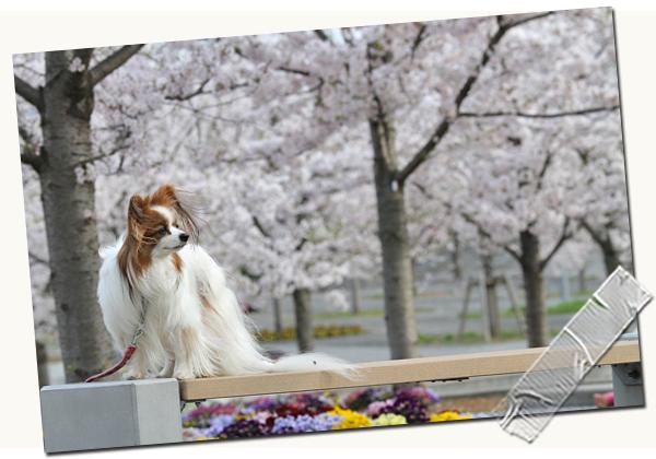 今年の桜は綺麗です★☆★  07