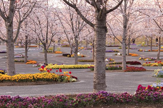 桜の下でじゃんがりあん★☆★26