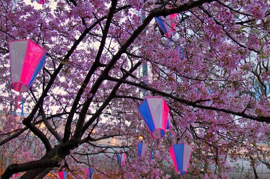河津桜♪ 01