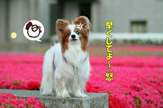 つつじん、満開★☆★ 05