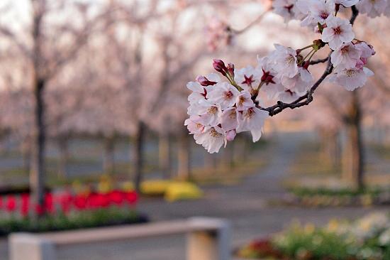 桜の下でじゃんがりあん★☆★22