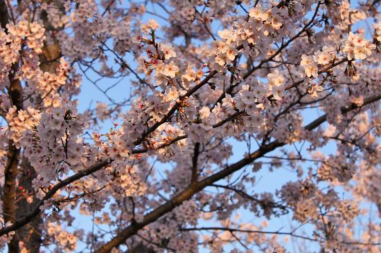 桜の下でじゃんがりあん★☆★25