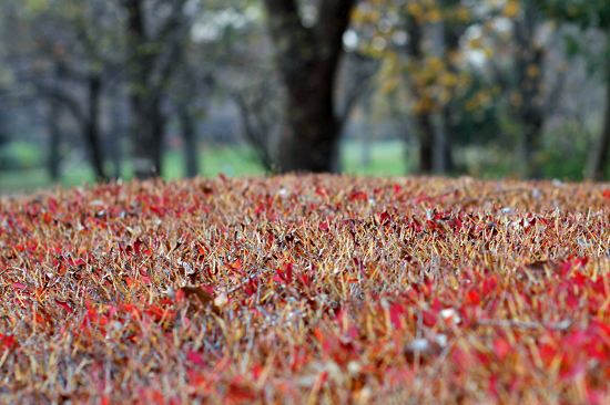 Red leaves 01