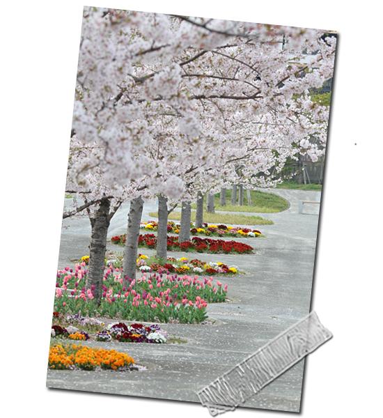今年の桜は綺麗です★☆★  05