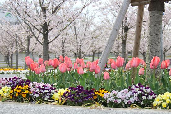 今年の桜は綺麗です★☆★  11