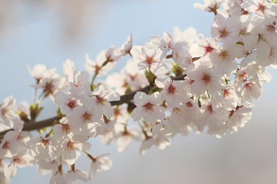 今年の桜は綺麗です★☆★  08