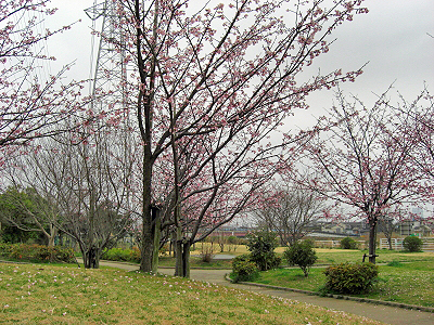 桜の木の下で�