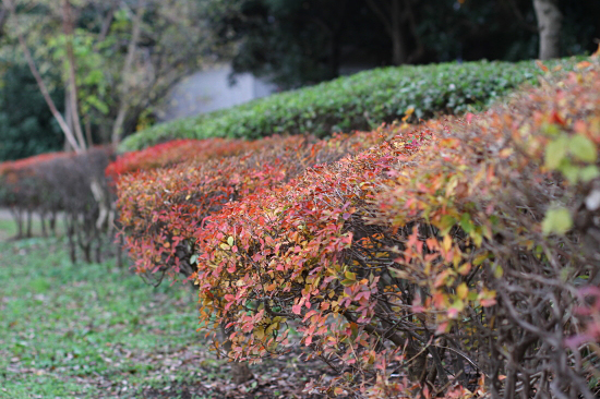 Red leaves 03