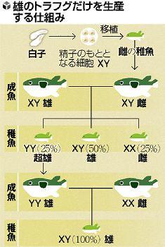 【科学】「超オス」フグで白子増産…稚魚すべて雄に【アッー!!】