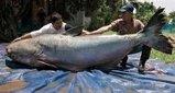 世界最大の淡水魚