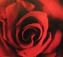 「怪人さん」の薔薇。