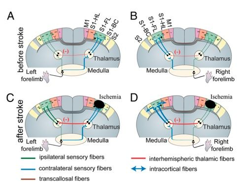 視床と皮質3