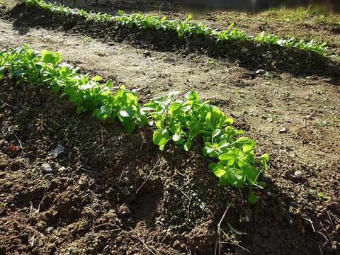 ameba 家庭菜園 2
