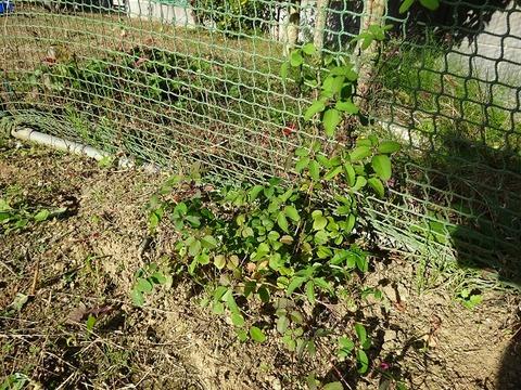 ameba 家庭菜園 1