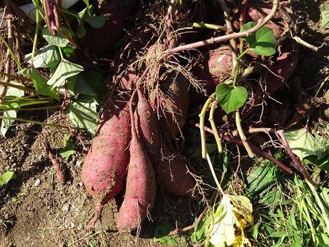 芋掘り 2