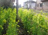 駅の菜の花
