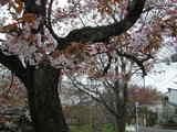 松ヶ崎桜3