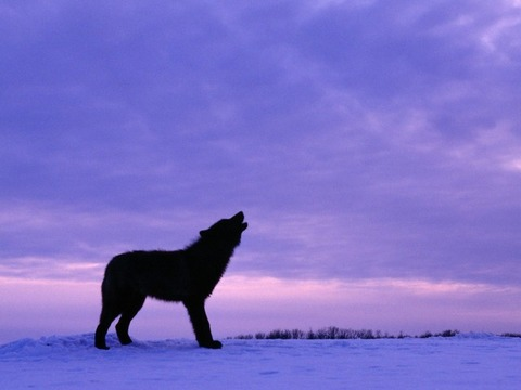 black-wolf-at-twilight-kewl