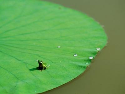 green-frog-blair_1421_600x450