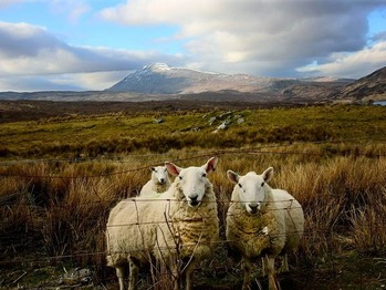 scotland-sheep_9070_600x450