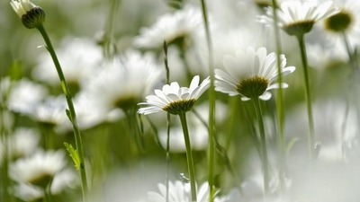 Flores Blancas 45
