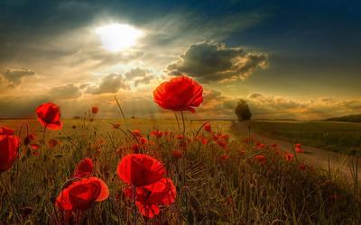 beautiful-poppy-flower-widescreen-hd-wallpaper