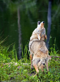 Howling_Coyote