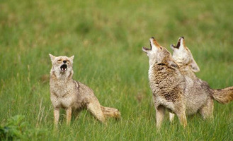 Coyote%20trio%20howling