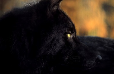 Black_Wolf_With_Yellow_Eyes