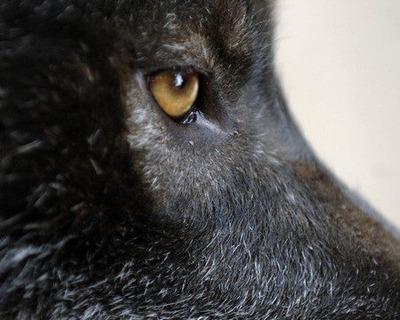 Black-Wolves-black-wolves-30893746-450-360