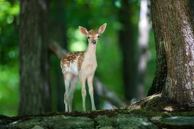 forest-deer_00387103