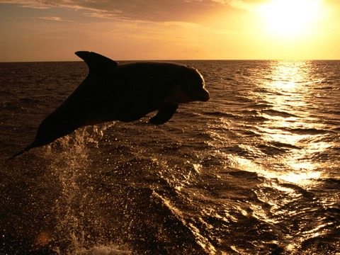 dolphin_jump_in_ocean_at_sunset-normal