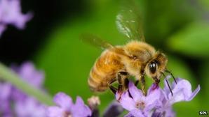 _68129783_c0065803-honeybee-spl