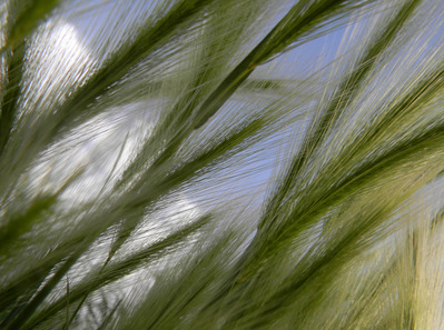 feather-grass