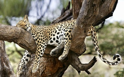 Sleeping_Leopard