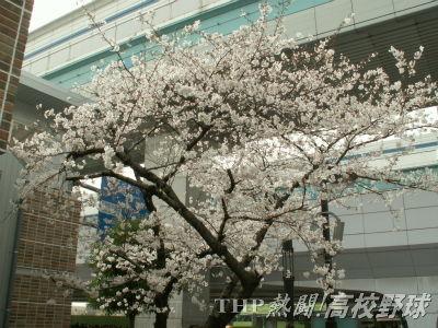 甲子園アルプスショップ前の桜の木はほぼ満開(2007.4.2)