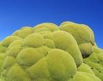 【不思議】地球のものとは思えない緑のモコモコした植物「ヤレータ」_画像_001