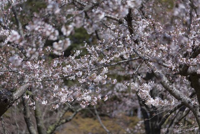 桜1645