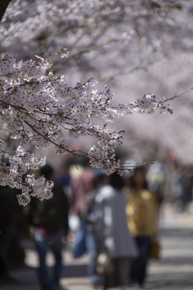 桜408A1715
