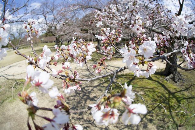 桜1620