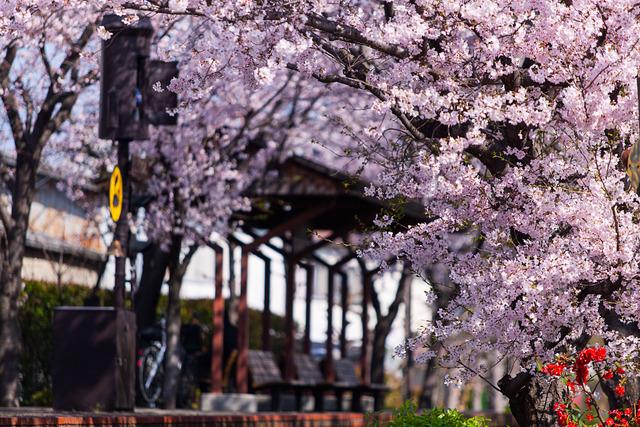 桜4443