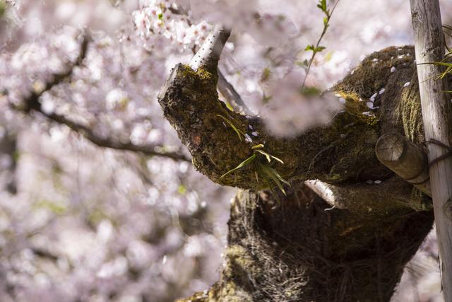 桜408A1747
