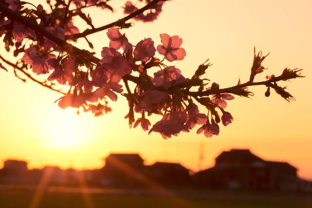 夕日に映える河津桜2