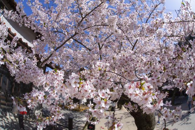 桜408A1843