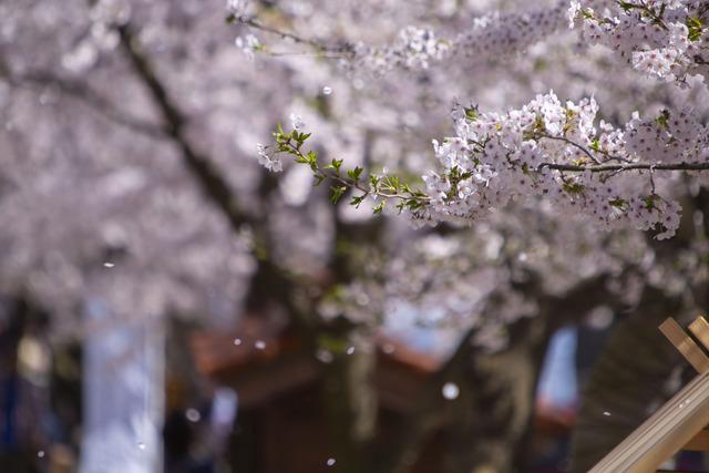 桜408A1769