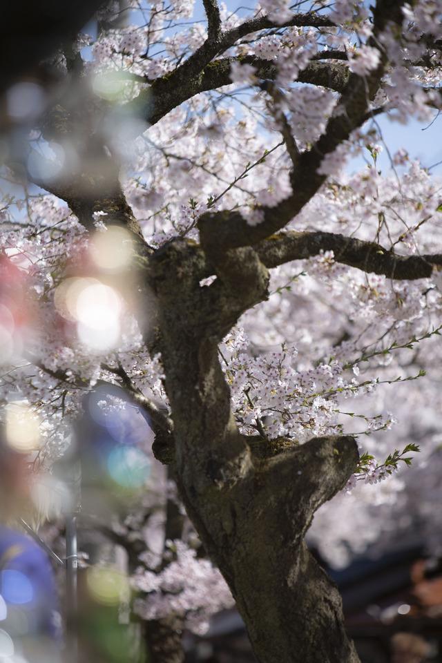 桜408A1853