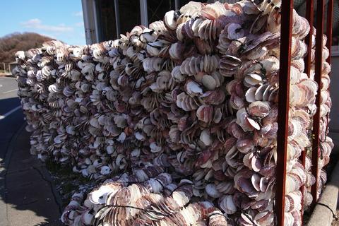 牡蠣の種付け用ホタテ