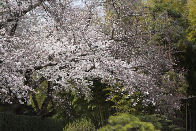 桜1653